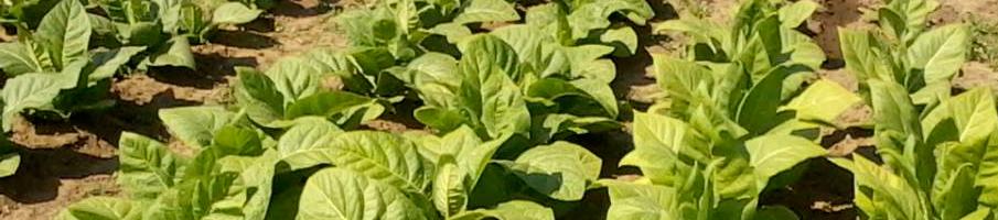 Выращивание махорки. Способы, методы, особенности, нюансы выращивания махорки.