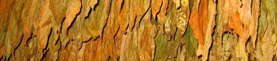 Выращивание махорки. Уборка махорки: правила, особенности. Ферментация махорки.